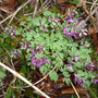 Corydalis_purple_bird