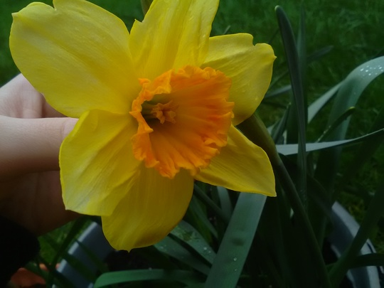 Spring daffodil (Narcissus Fortissimo)