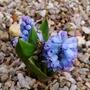 Hyacinthella_dalmatica_grandiflora_2019