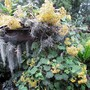 Cloud Forest Daisy. (Roldana petasitis)