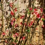 Chaenomeles speciosa (Flowering quince)Pink