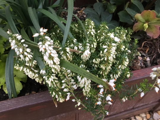 Erica carnea 'Springwood White' in bloom.