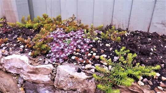 Stonecrops amongst sedums