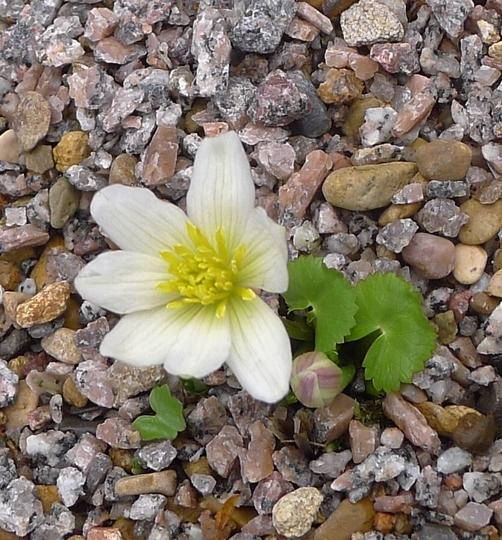 Caltha palustris var alba - 2019 (Caltha palustris 'Alba')