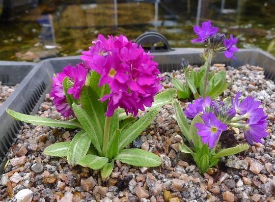 Primula denticulata - 2019 (Primula denticulata)
