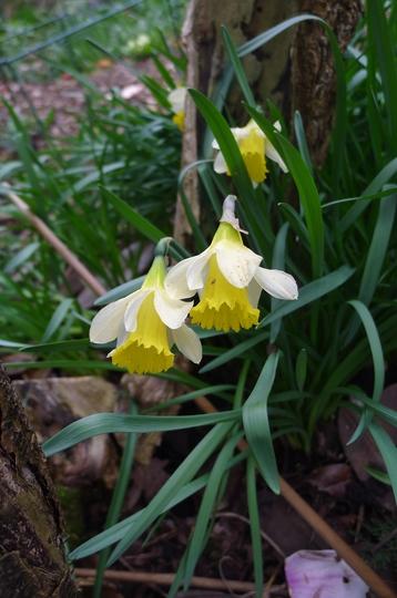 Narcissus lobularis - 2019 (Narcissus lobularis)