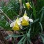 Narcissus_lobularis_2019
