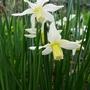 Narcissus_toto_2019