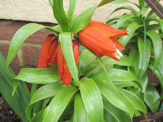 Fritillaria imperialis (Fritillaria imperialis (Crown imperial))