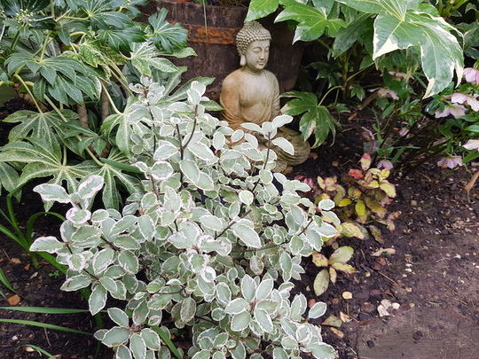 Pittosporum and Buddha......with Fatsias and Pseudowintera.. (Pittosporum tenuifolium (New Zealand Pittosporum)Garnettii)