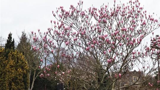 Magnolia.Soulangeana(Saucer magnolia)