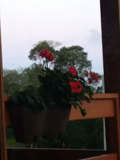 Geraniums on the balcony (geranium pelargonium)
