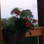Geraniums on the balcony (geranium pelargonium)