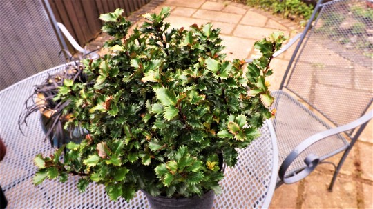 Ilex Little rascal.(Blue Holly)