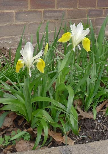 Iris bucharica - 2019 (Iris bucharica (Iris))