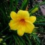 Yellow day lily.  (Hemerocallis)