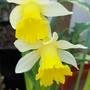 Narcissus Topolino... (Narcissus Topolino.)