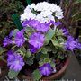 two more European Primulas