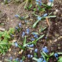 Siberian_squill