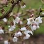 Prunus Kojo No Mai first blooms (Prunus incisa)