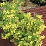 Coronilla flowering beautifully now and gorgeous scent too. (Coronilla valentina subsp. glauca 'Citrina')