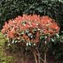 Photinia fraseri...Red Robin