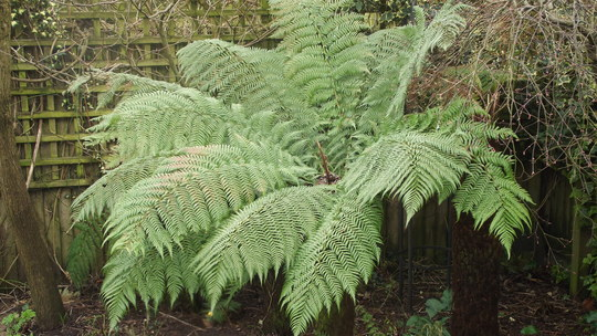 Tree Fern not looking too bad for March