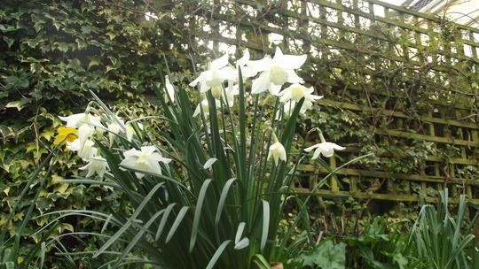 White daffodil last minute buy ... 50 pence a bag , bargain shelf
