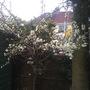 Springtime plum in blossom
