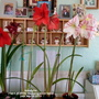 Amaryllis (1st 4 of 2019) on living room table 24th March 2019 (Amaryllis Hippeastrum)