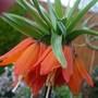 Fritillaria imperial Auroa open