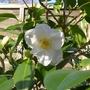 Camellia_japonica_devonia_2019