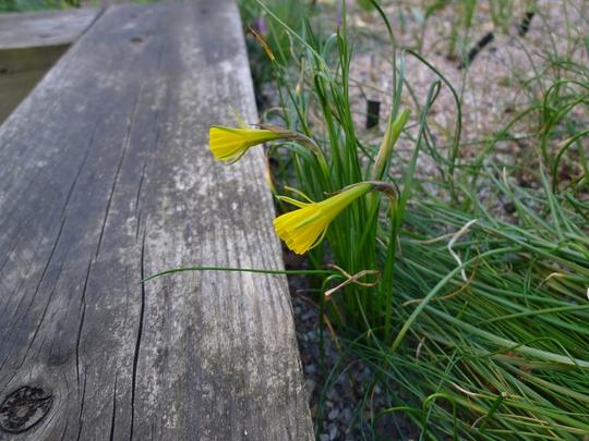 Narcissus bulbocodium var conspicuus - 2019 (Narcissus bulbocodium)