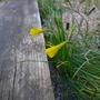 Narcissus_bulbocodium_var_conspicuus_2019