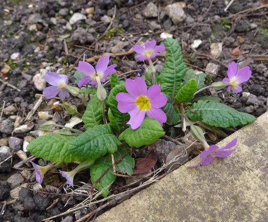 Primula vulgaris ssp sibthorpii - 2019 (Primula vulgaris subsp sibthorpii)
