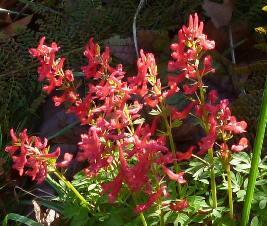 Corydalis solida 'Firecracker' (Corydalis solida 'Firecracker')