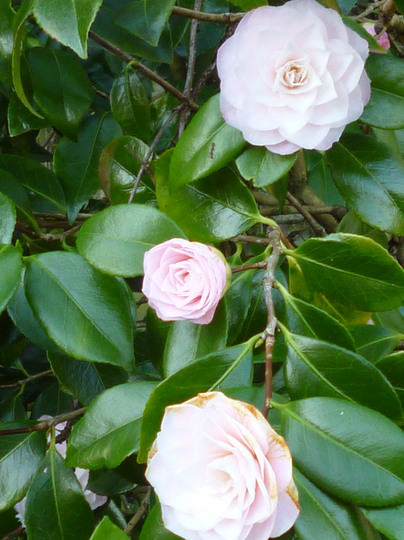 Camellia (Camellia japonica 'Ave Marie')