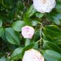 Camellia_2_