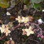 Epimedium 'Black sea' (Epimedium 'Black Sea')
