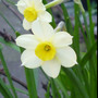 Narcissus_canniculatus