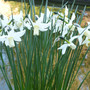 narcissus Toto. (Narcissus 'Toto')