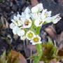 Mukdenia in flower (Mukdenia karasuba)