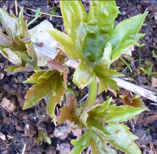 mukdenia leaf (Mukdenia karasuba)