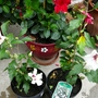 Hibiscus syriacus (Red heart) New purchases. (Hibiscus syriacus)