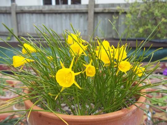 Narissus bulbocodium (Narcissus bulbocodium (Hoop-petticoat Daffodil))
