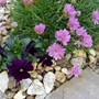 Thrift and Viola....... (Armeria caes Sea Pink)