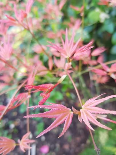 Acer foliage..... (Acer palmatum (Japanese maple))