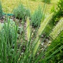 Fountain grass (Pennisetum alopecuroides (Chinese Fountain Grass))
