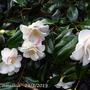 Camellia Japonica 'Lady Vansittart '