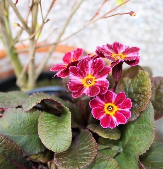Primula vulgaris 'Dark Rosaleen'